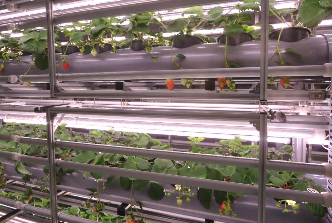 イチゴ栽培棚1