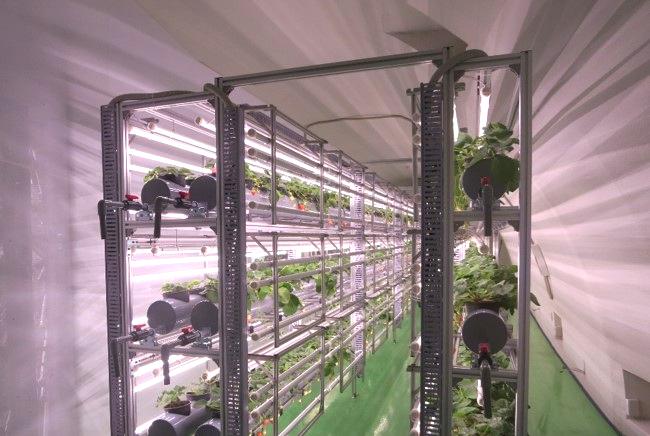 イチゴ栽培棚2
