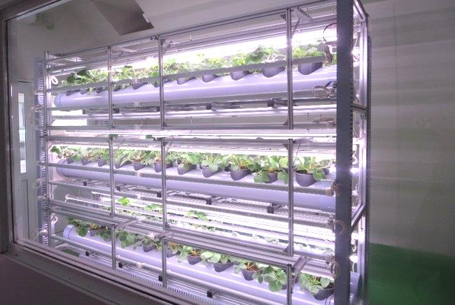 イチゴ栽培棚3