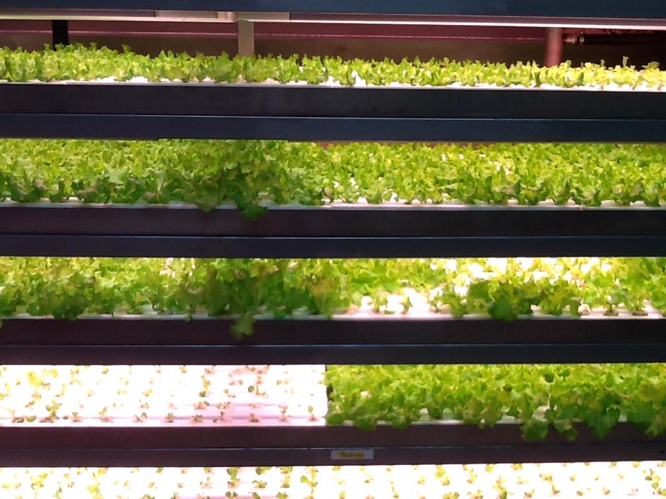 千葉大学 植物工場 内観 育苗棚