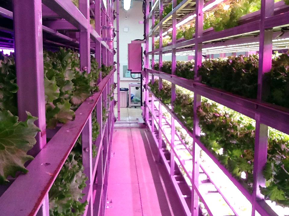 千葉大学 植物工場 内観 栽培棚
